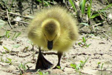 Mała kaczka robi krok